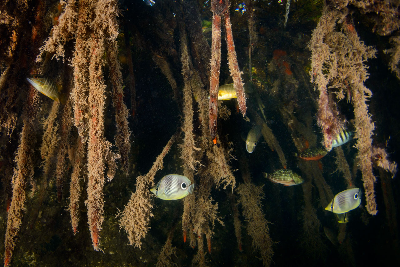 Nursery for juvenile reef fish in Grand Cayman Mangroves