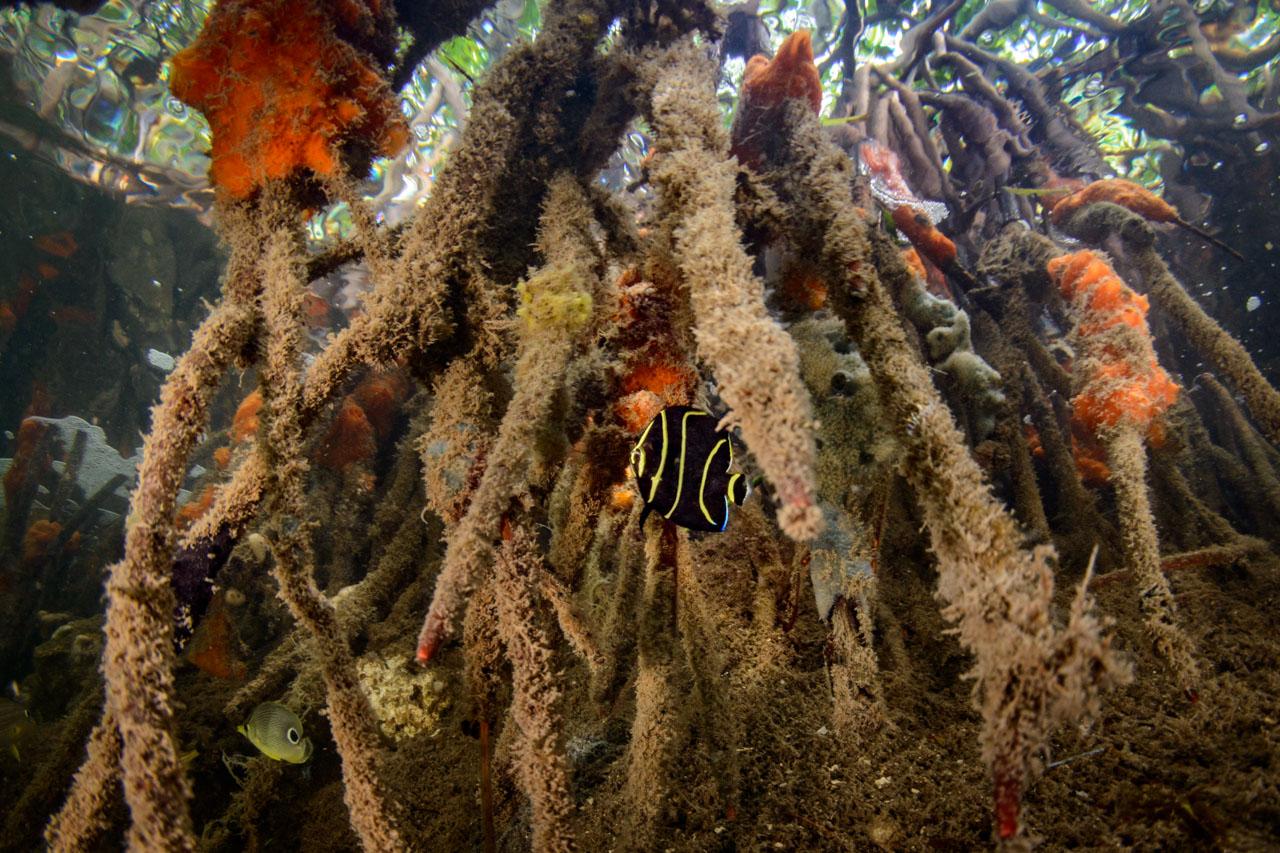 juvenile angelfish in mangrove roots