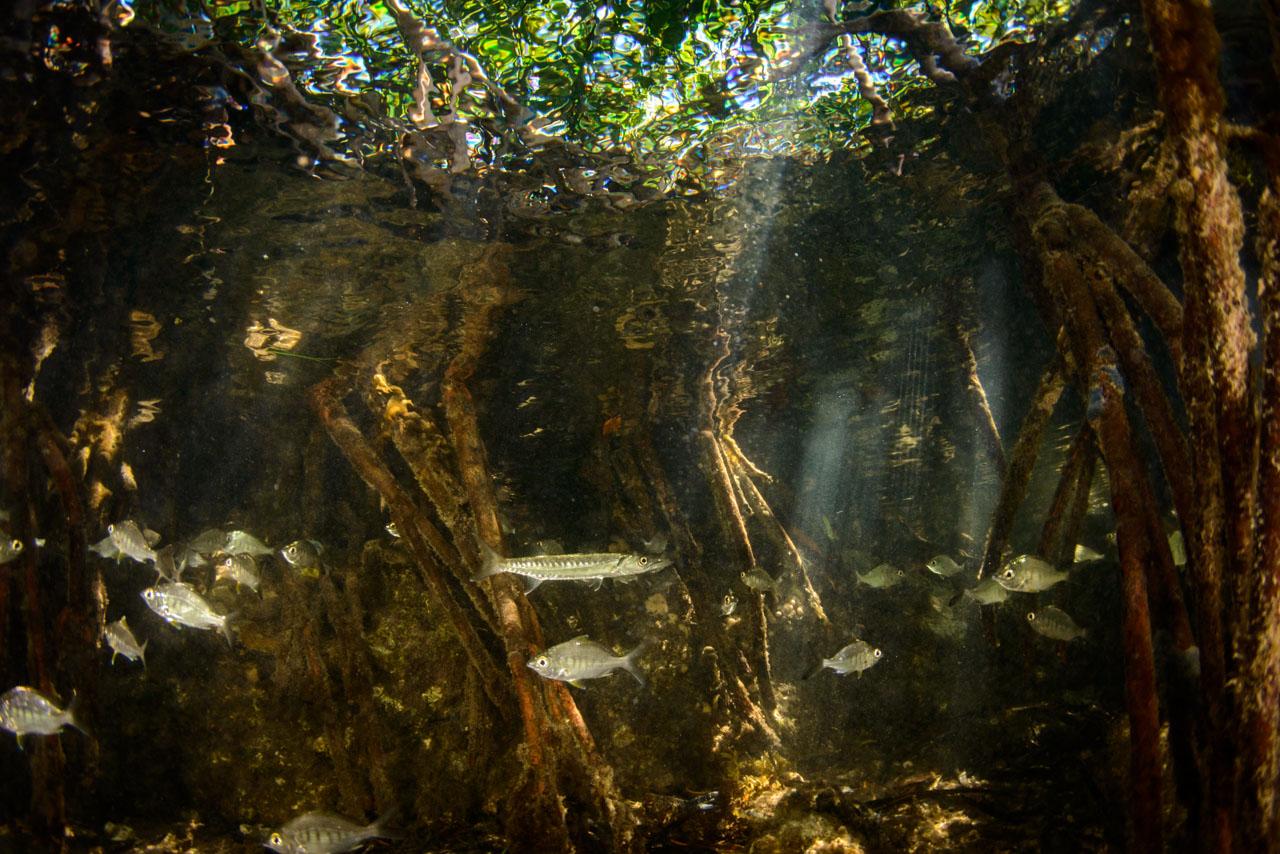 Baby barracuda seeking shelter in mangroves