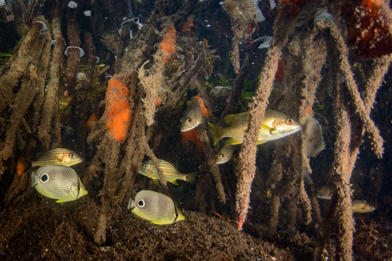 juvenile reef fish in the sheltered area of a mangrove forest