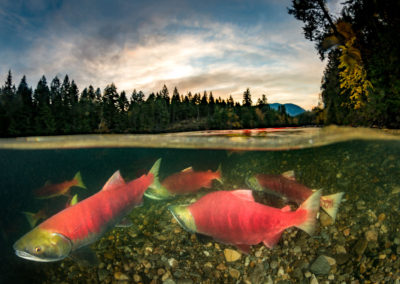 Sockeye salmon during sunset on the Adams River, BC
