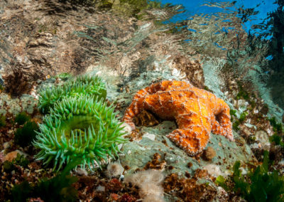 Orange Ochre star and Green anemone in shallow water