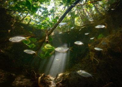 Tropical river tetras