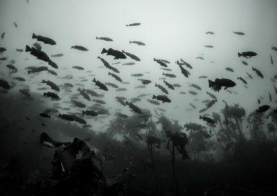 Black rockfish school monochrome