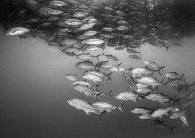 Monochrome image of Jacks n Sea of Cortez