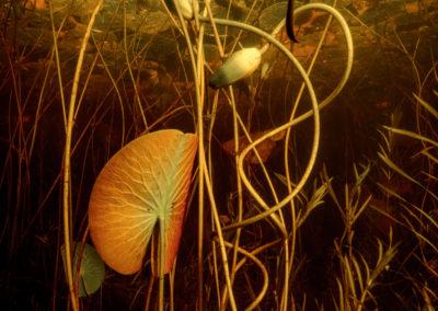 Cape Breton Lily pond underwater view