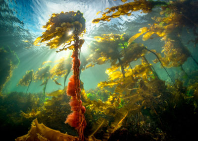 Kelp forest and sunlight in BC