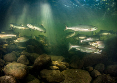 Pink Salmon in the Quinsam River