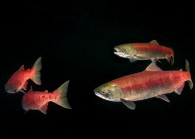 Sockeye Salmon against dark background