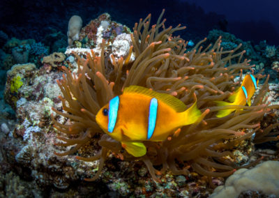 Anemone and clownfish in Red Sea