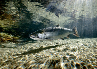 Coho Salmon in the Quinsam River
