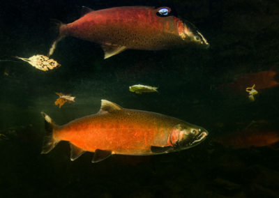 Colourful Coho Salmon in the Quinsam River