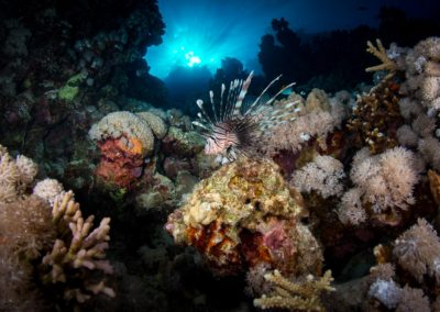 Lionfish among coral in the Red Sea, Egypt