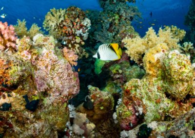 Banded Butterfly Fish in Red Sea