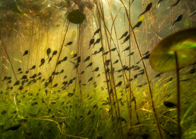 Cloud of Tadpoles in a swamp near Campbell River