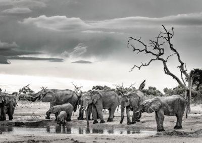 Herd of elephants at watering hole in Botswana in monochrome.
