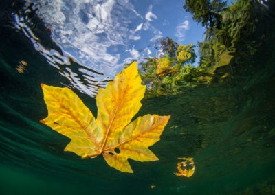 Maple leaf underwater view