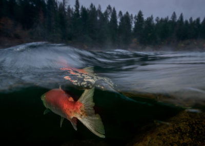Early morning image on th eAdams river with Sockeye Salmon