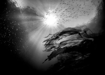 Herring and kelp
