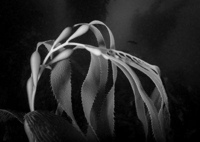 Monochrome image of giant kelp