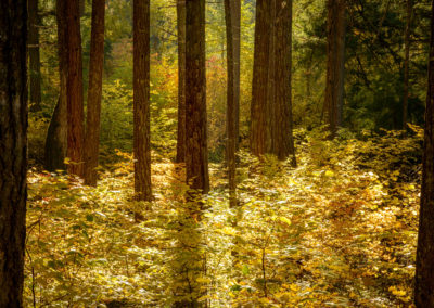 Golden colours in fall forest scene