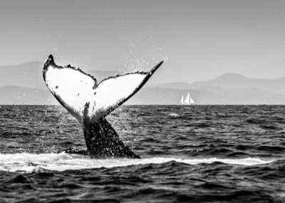 Humpback whale tail in British Columbia
