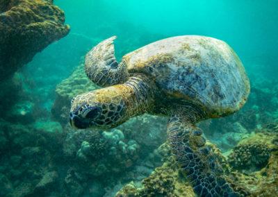 Green Sea Turtle in Hawaii