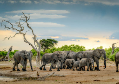 Herd of elephants at watering hole in Botswana