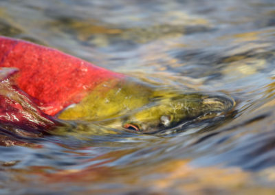 Sockeye Salmon rushing up river