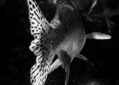 Monochrome image of salmon tail