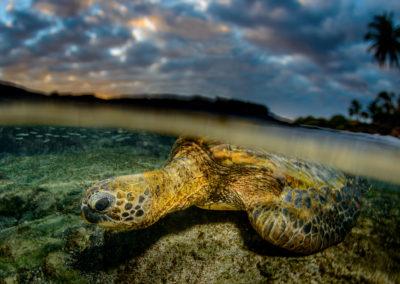 Green Sea Turtle in Hawaiian sunset