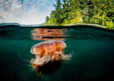 split image of Lions Mane Jellyfish in British Columbia