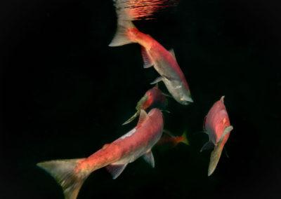 Sockeye salmon tails