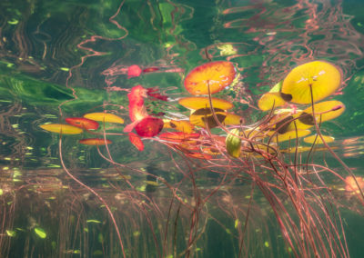 Colourful lily pad leaves underwater view