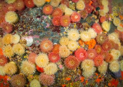 Painted tealia anemone