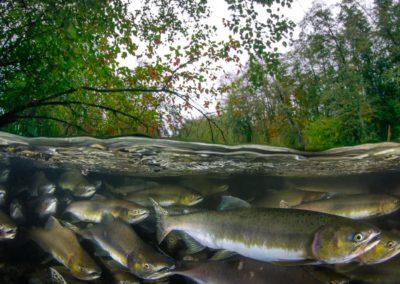 Pink salmon split image