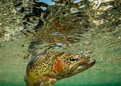 Rainbow trout in the Elk River