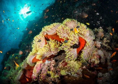 Anemone and clownfish at Daedalus Reef, Red Sea