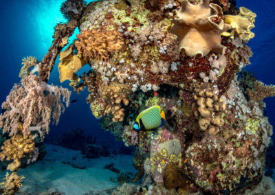 Angel Fish on Coral bommie in Red Sea