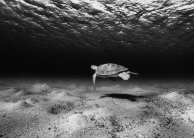 Monochrome image of Green Turtle over sand flats