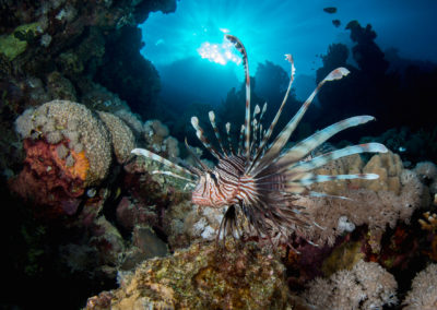 Volitans Lionfish in the Red Sea, Egypt