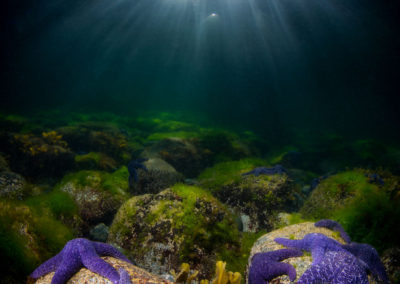 Purple Seastars and sunlight