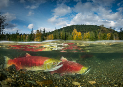 Pair of Sockeye Salmon split image