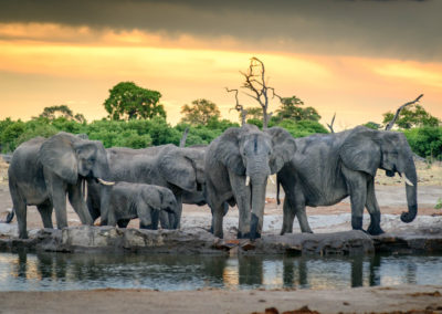 Herd of elephants at watering hole in Botswana during sunset