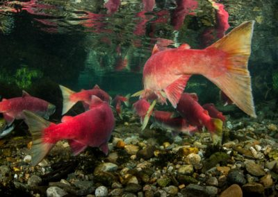 Sockeye Salmon tails in the Adams River