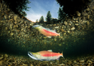 Sockeye salmon reflection