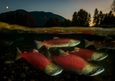 Sun sets on the adams river with sockeye salmon