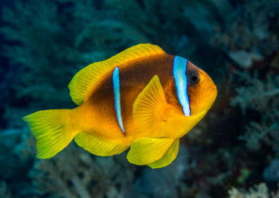Banded clownfish in Red Sea