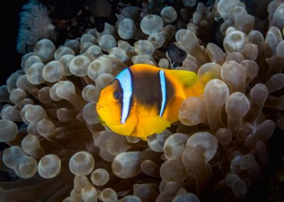 Bubbletip Anemone and clownfish in Red Sea