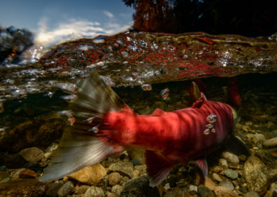 Sockeye Salmon struggling upstream